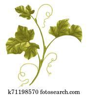 abbildung, von, vine., kürbis, zweig, mit, leaves.