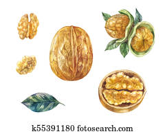 Set of watercolor walnuts. Whole and half, in shell