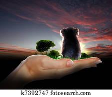 Little koala watching the sunset