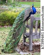 Peacock in park