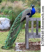 Peacock on Bench