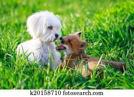 Volpe e cane archivio fotografico k20158836 fotosearch