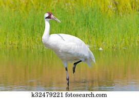 Whooping Crane Wading in Marsh