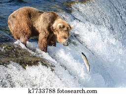 Large Alaska brown bear waiting for salmon