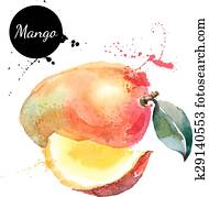 Hand drawn watercolor painting mango on white background