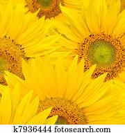 background made of beautiful sunflowers