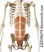 the rectus abdominis