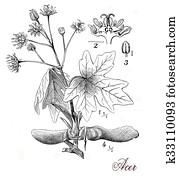 Maple tree, botanical vintage engraving