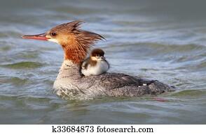 Merganser Duck with baby duckling