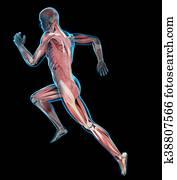a runner?s muscles