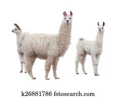 Female llama with baby
