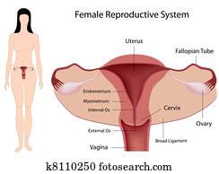 weiblich, reproduktiv, system,, eps8