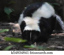 Creeping and Waddling Black and White Skunk