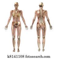 Semi-Transparent Female Anatomy