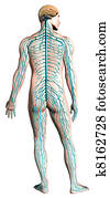 Human nervous system diagram.