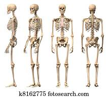 Male Human skeleton, four views, front, back, side and perspective. Scientifically correct, photorealistic 3-D rendering. Clipping path included.