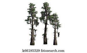 Bald Cypress tree cluster on white background