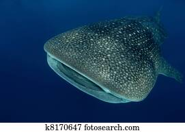 Whale shark in Seychelles