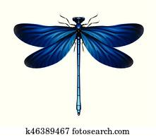 Calopteryx Virgo dragonfly