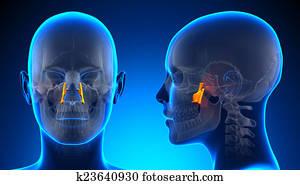 Female Palatine Skull Anatomy - blue concept