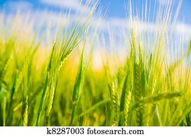 Wheat field. Agriculture