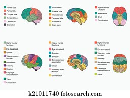 Human brain anatomy, function