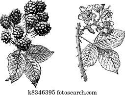Blackberry flower, Blackberry fruit, vintage engraving.