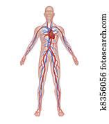 Human Circulation Anatomy