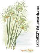 Papyrus plant. (Cyperus Papyrus)