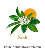 Neroli. bitter orange tree, twig, flowers and fruit