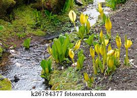 Yellow Skunk Cabbage (Lysichiton americanus)