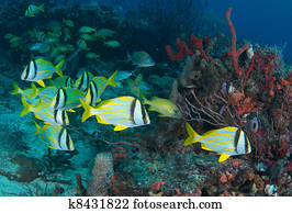 Porkfish on a coral reef