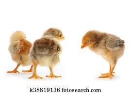 Unge kyllinger nøgen