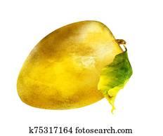 Watercolor mango on white