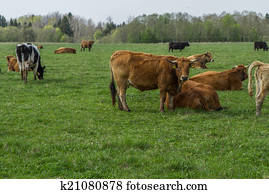 Cattle pasture in the village
