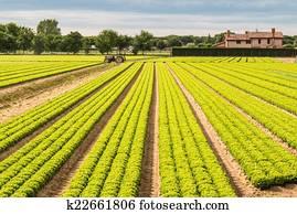 Field of green lettuce