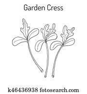 Garden cress lepidium sativum , or pepper grass, vegetable culinary herb