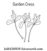 kleingarten, kresse, lepidium, sativum, oder, pfeffer, gras, gemüse, kulinarisch, kraut