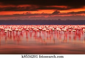 African flamingos on sunset