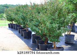 Trees in Plant Nursery