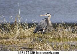 Heron standing in the weeds.
