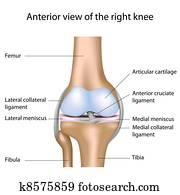menschliches knie, joint,, eps8