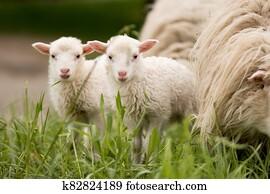 sheep twins mammal animal young farm lamp rural