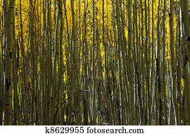 Abstract Pattern of Aspen Trees in Colorado