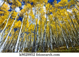 Tall Yellow Aspen Trees In Colorado Forest