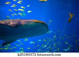 Whale shark in Okinawa