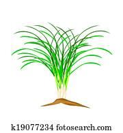 a, frisch, zitrone- gras, pflanze, wei?, hintergrund