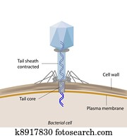 bakteriophage, infecting, bakterien
