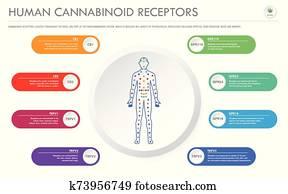 Human Cannabinoid Receptors horizontal business infographic