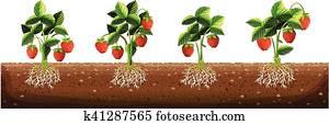 Strawberry plants in the farm